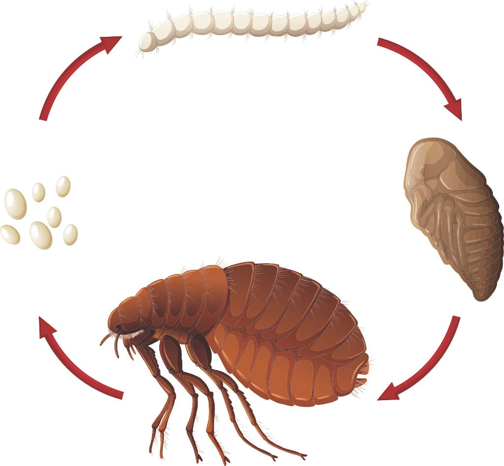 The life cycle of a flea