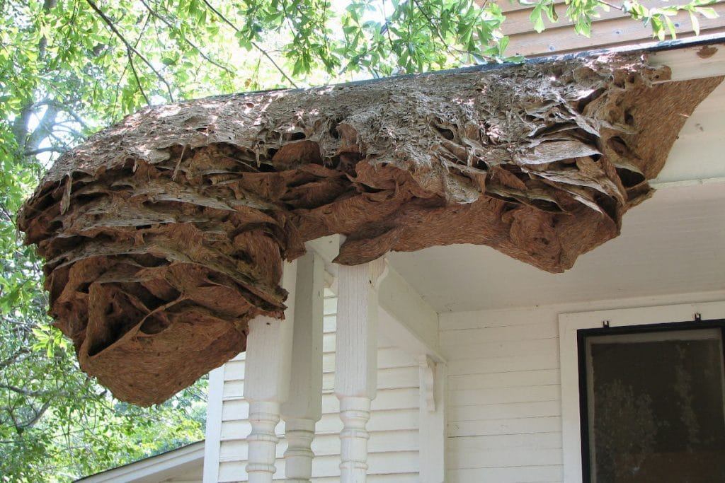 Wasp Super Nest in Alabama