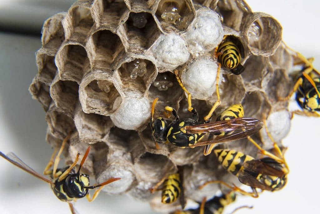 How wasps build their nests