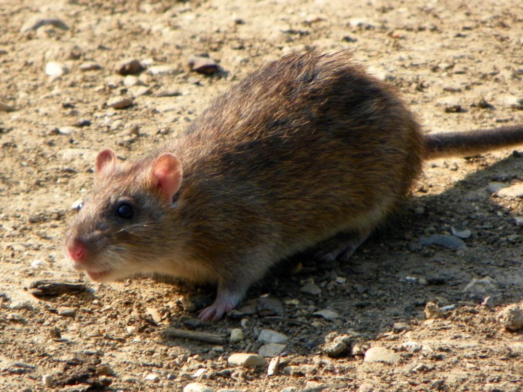 Norway rat picture