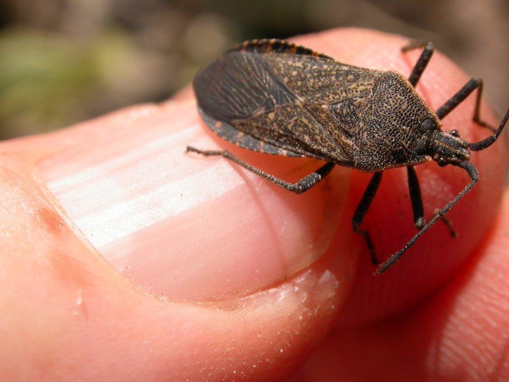 Squash bugs