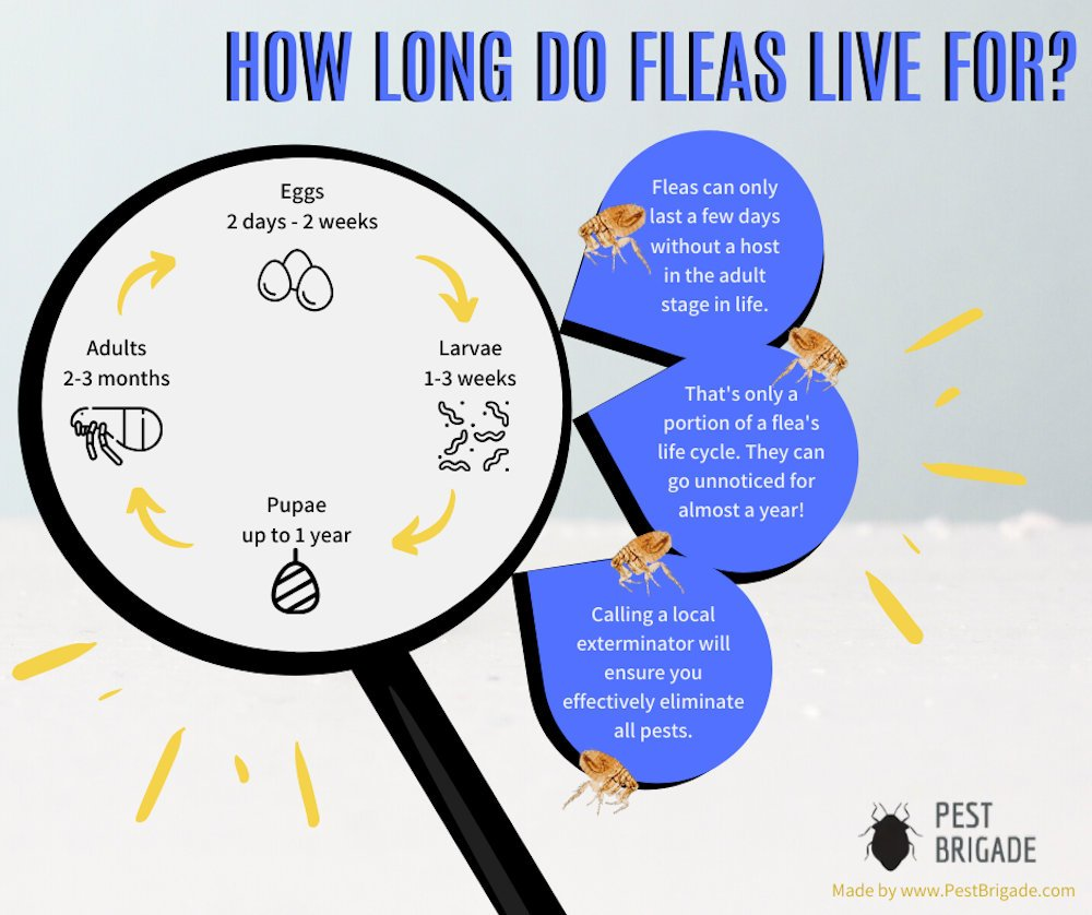 How long do fleas live for Infographic