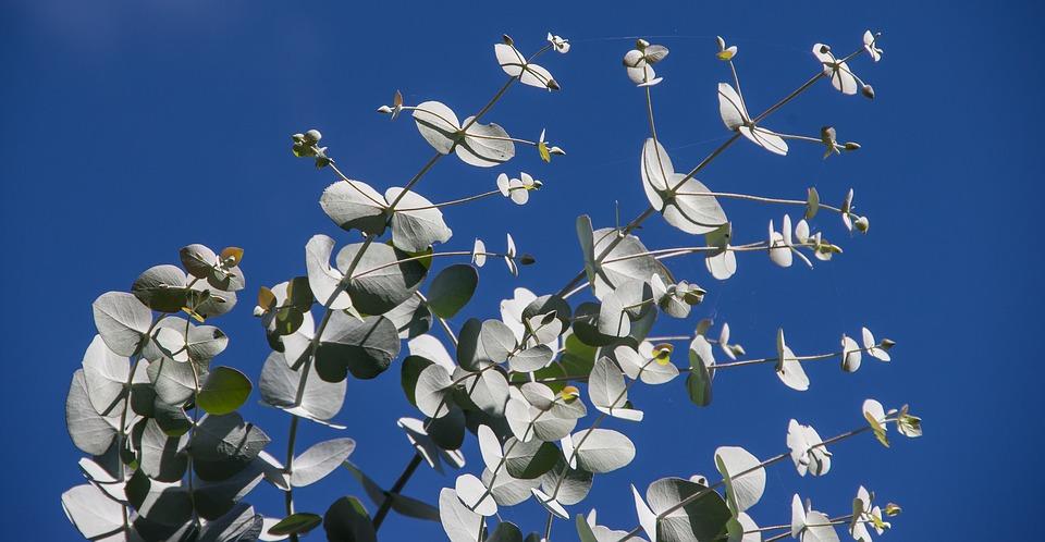 Eucalyptus tree leaves