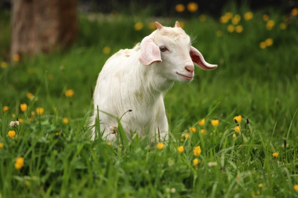 Pest management for goats and sheep