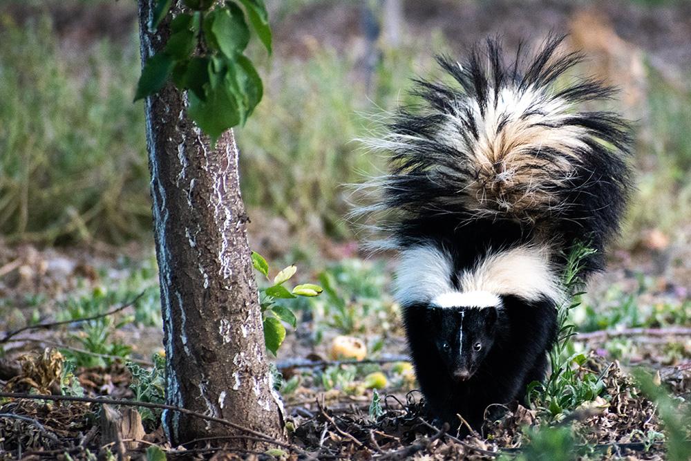 skunk lurking in forest