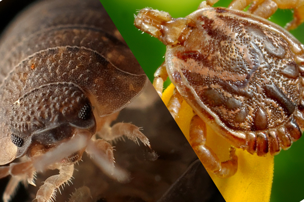 Bed Bug Vs Tick Bite Pest Brigade