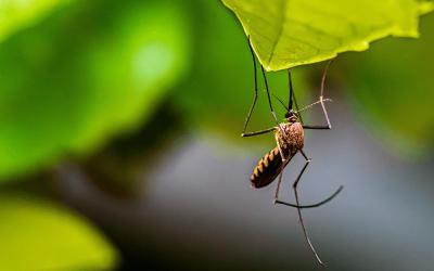 mosquito-biting-leaf