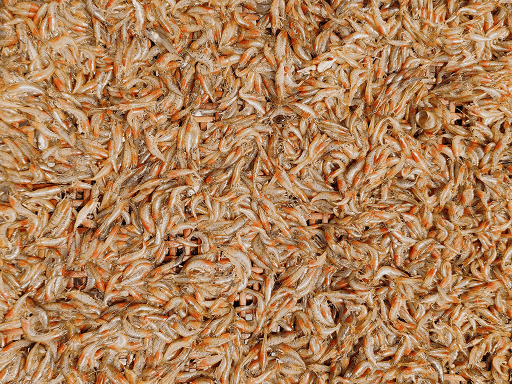 subterranean swarmer termites