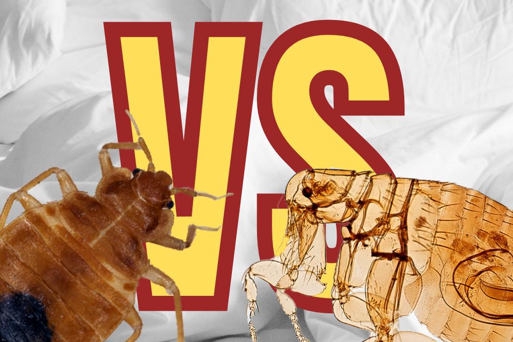 bed bug vs flea bite