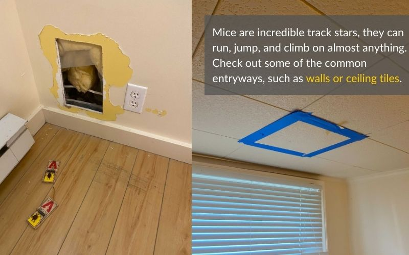 Mice entryways in the wall and ceiling tile of an infested home.