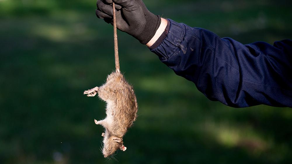 Exterminator hold a dead Roof rat